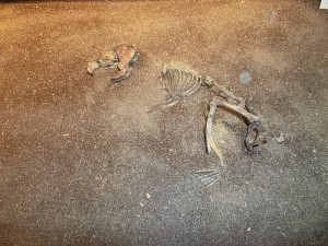 Skeleton of one of the vermin - a rat. (cc Marilyn Z.Tomlins)