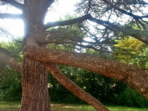 Another view of the Cyprus Tree planted by Napoleon and Josephine in 1800. (cc Marilyn Z. Tomlins)