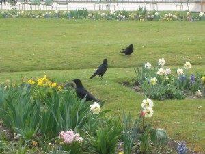 Ravens in the Tuileries Gardens beside the Louvre(copyright: marilyn z tomlins)